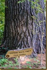 Eastern White Pine - Pinus sirobus