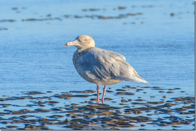 Dungeness_Glauc-3