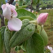 Quince_flowers