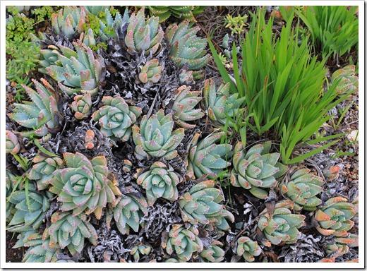 121228_UCBotGarden_Aloe-brevifolia_02