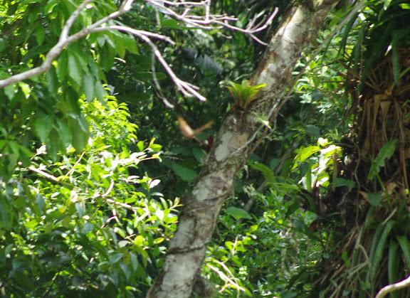 Morpho (Iphimedeia) hercules diadema FRUHSTORFER, 1905, en vol. Sertao de Barra do Una (Sao Sebastiao, SP). 16 février 2012. Photo : J.-M. Gayman