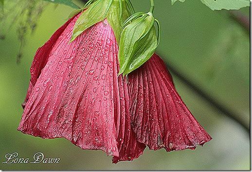 Hibiscus_Rain2