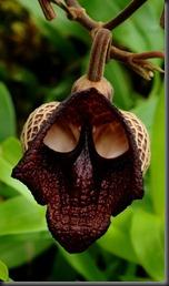 Aristolochia salvador platensis
