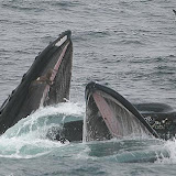 Bubble-feeding humpback whales