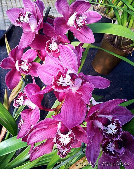 Glória Ishizaka - orquideas 32