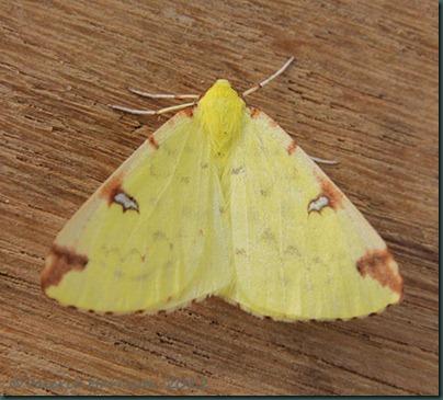 Brimstone-Moth