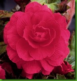 Begonia Dobrada Rosa