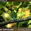 Long-Tailed-Broadbill06.jpg