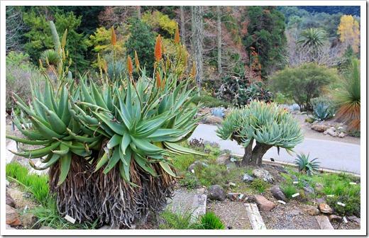 121228_UCBotGarden_Aloe-arborescens- -Aloe-plicatilis_01