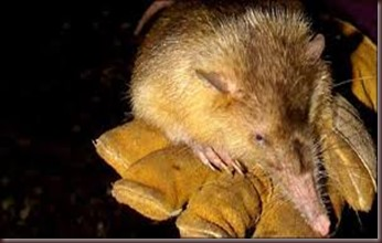 Amazing Pictures of Animals, photo, Nature exotic, funny, incredibel, Zoo, Solenodon, Mammalia, Alex (14)