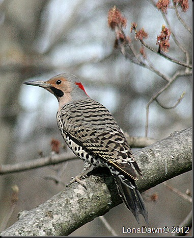 Northern_Flicker2