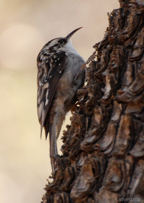 9. brown creeper-kab