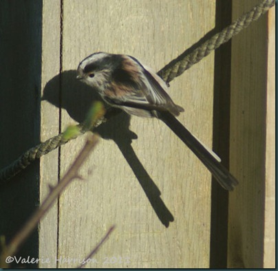 long-tailed-tit-2