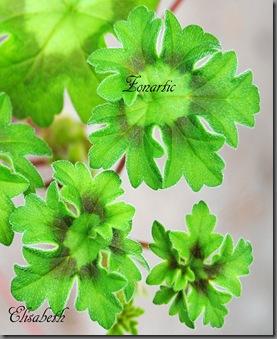 pelargonium i mai 061