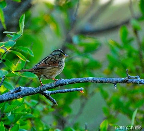1. Swamp sparrow-kab