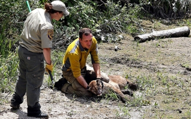 Paul Houghtaling of the UC Santa Cruz Puma Project holds upright the head of a tranquilized young male mountain lion found in an aqueduct near downtown Santa Cruz, California. Photo: Dan Coyro / Santa Cruz Sentinel / AP