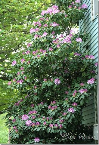 Rhododendron_Lavender_Bush3