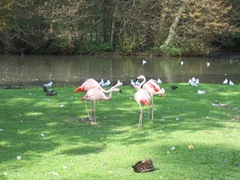 2011.09.23-012 flamants roses
