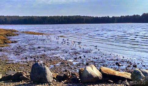 5. shorebirds 11-20-14 Wharton Point
