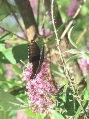 butterfly bush pink w butterfly3. 8.10.13