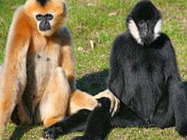 Amazing Pictures of Animals, Photo, Nature, Incredibel, Funny, Zoo, Gibbons, Hylobatidae, Primate, Mammals, Alex (3)