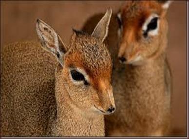 Amazing Pictures of Animals photo Nature, exotic, funny, incredibel Zoo, Dik-dik, antelope. Alex (16)