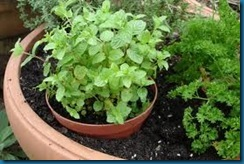 mint in container