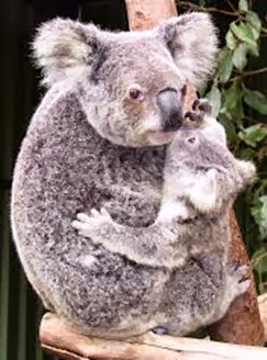 Amazing Pictures of Animals, Photo, Nature, Incredibel, Funny, Zoo, Koala, Phascolarctos cinereus, Alex (5)