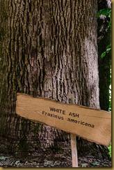 White Ash - Fraxinus americana