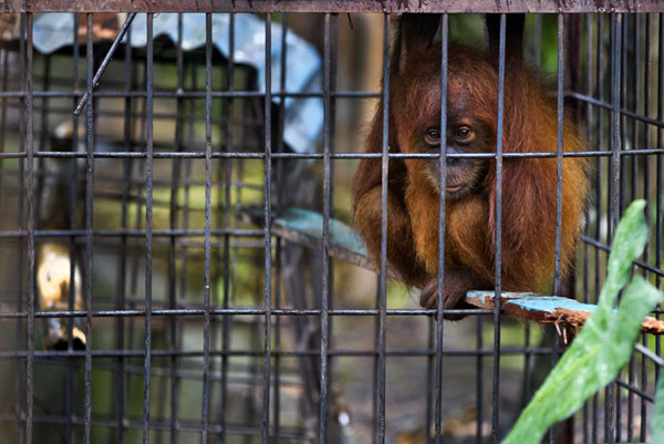 Caged orangutan at Limbat's 'zoo' in Kadang, Aceh on the island of Sumatra. Trade in threatened species is illegal in Indonesia, but prosecutions are rare, conservation organizations here say. As forests are increasingly cut down for plantations and mining concessions in Aceh, trafficking in wildlife is growing. Photo: Paul Hilton / mongabay.com