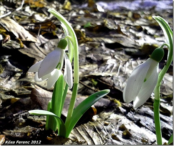 Hovirag_2012-03-18 14.27.03