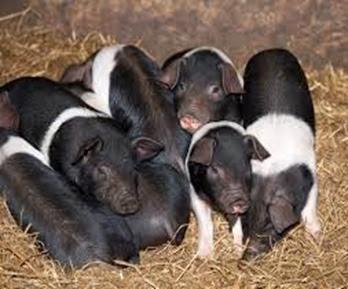 Amazing Pictures of Animals, Photo, Nature, Incredibel, Funny, Zoo, British Saddleback, Pig, Sus scrofa domesticus, Mammals, Alex (15)