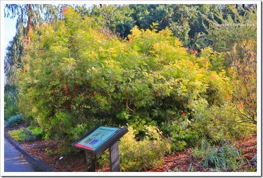 131124_UCD_Arboretum_AustralianCollection_Grevillea-Masons-Hybrid_03