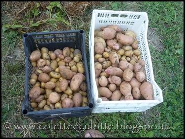 Raccolta delle patate all'OrtoLà - agosto 2013 (1)