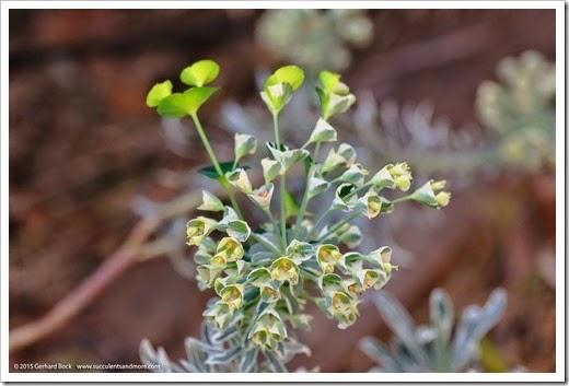 150318_home_029_Euphorbia_Tasmanian_Tiger