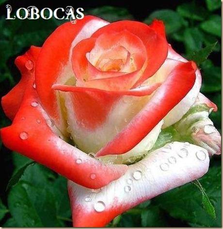 rosa-LoBocAs-5010