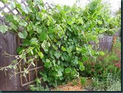 Grapevine, tendrils 004