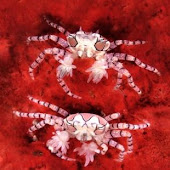 Boxer Crabs.jpg