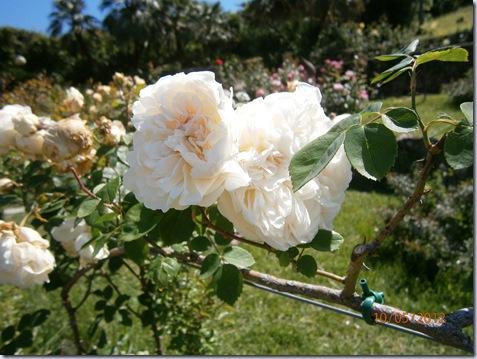 Giardino iris e rose 308