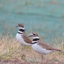 Killdeer (pair)