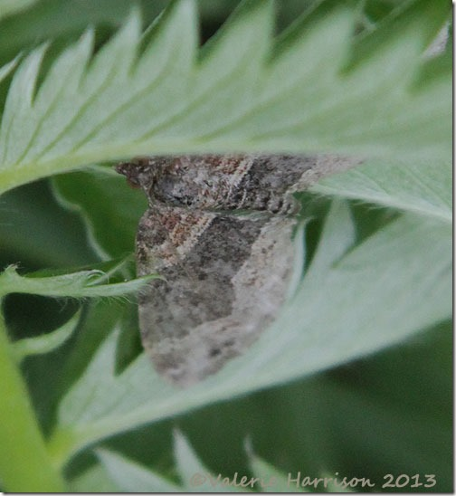 34-dark-barred-twin-spot-carpet