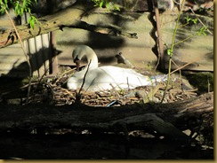 IMG_0787 Swan Worcs