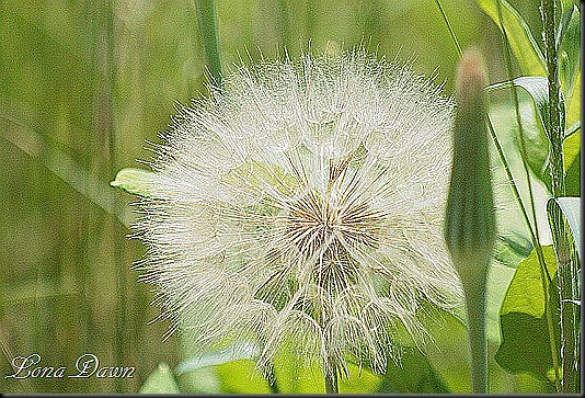 S_Yellow_Salsify_Oysterplant5