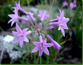 Thulbalgua violacea