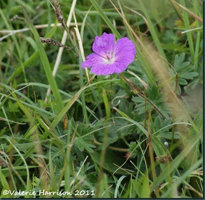 19-cranesbill