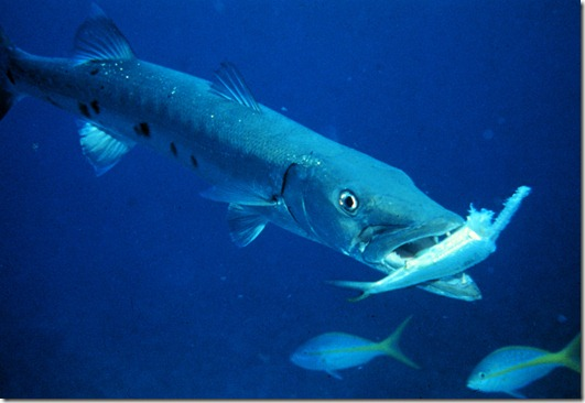 Barracuda_with_prey