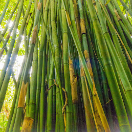 Bamboo 01 by Karen Martin - Nature Up Close Trees & Bushes ( bamboo, wood, cloud forest, green, tropical, pacific, forest, yellow, tropics, tree, trees, rain forest, cloud, hawaii, rain )