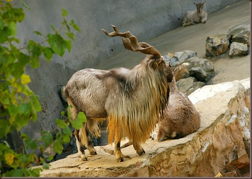 Amazing Animals Pictures Markhor (2)