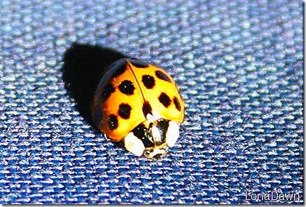 Asian_Ladybug