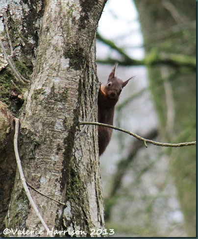 17-red-squirrel